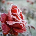 A rose blooms in winter
